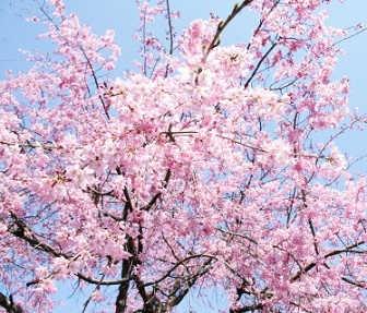 まんぷく第10話感想「桜の絵」